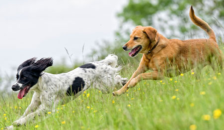 Two dogs running through grass
