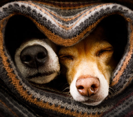 Dogs wrapped in a blanket